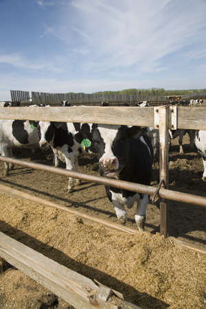 trough: Cows at trough