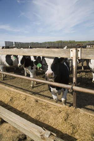 heffer: Cows at trough