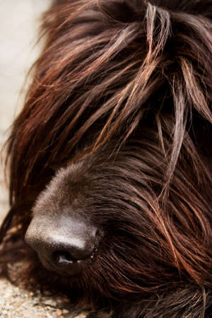 Shaggy dogs nose
