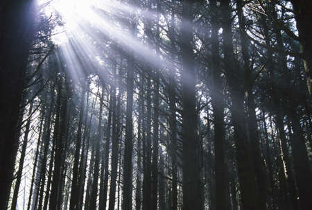 tuttle: Sunbeams through silhouetted Pine trees