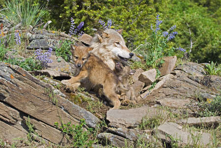 Wolf cubs and mother at den site photo