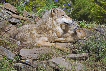 Mother wolf with cubs photo