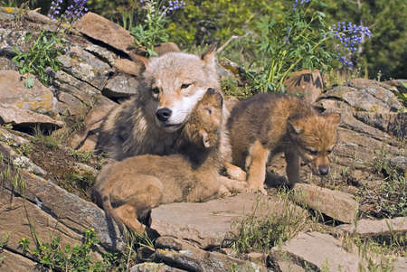 on gray: Wolf cubs and mother at den site