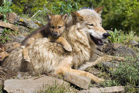 gray wolf: Wolf cubs and mother at den site