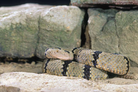 coiled: Banded rock rattlesnake coiled