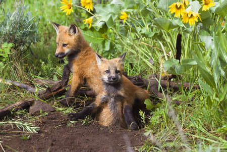Baby foxes at den site photo