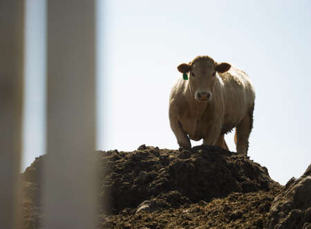 Cow standing on dirt pile