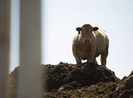 heffer: Cow standing on dirt pile