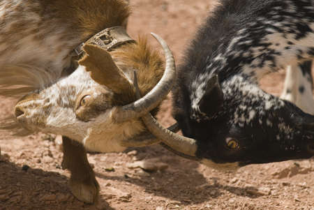 Goats fighting Imagens