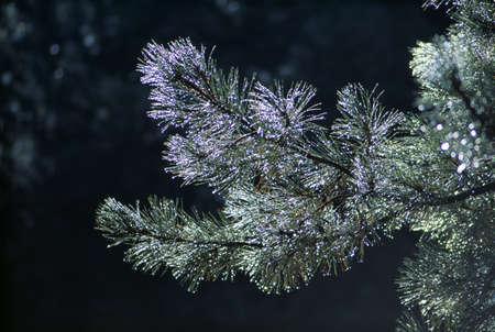 ponderosa: Dew on ponderosa pine branches Stock Photo
