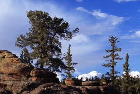 bristlecone: Bristlecone pine tree growing out of rocks