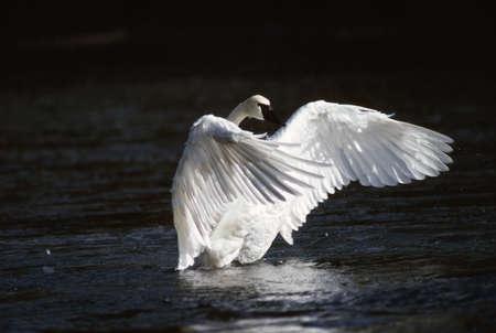 Trumpeter swan landing in water photo