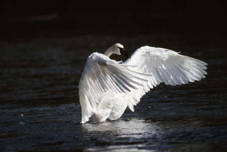 cygnus buccinator: Trumpeter swan landing in water Stock Photo