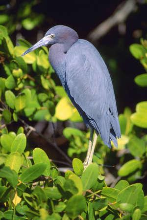 ardeidae: Little Blue Heron