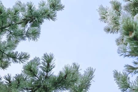 warkentin: Pine branches