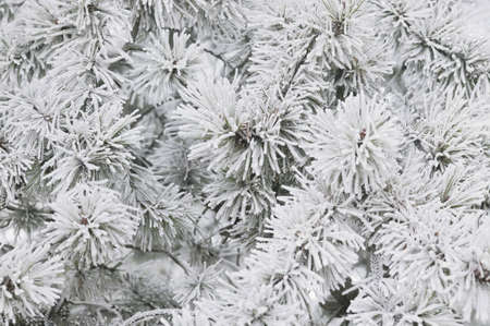 leah: Pines covered in frost