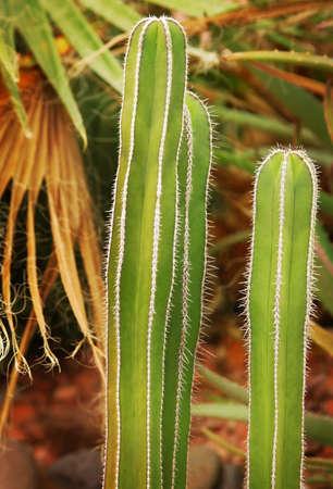 glubish: Cacti
