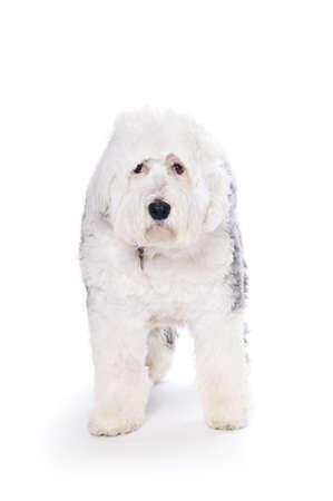 old english: Old English Sheepdog on white background