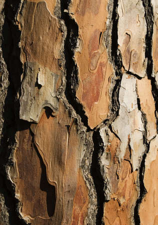 pinaceae: Bark of a pine tree