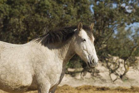 Andalousische paard   Stockfoto
