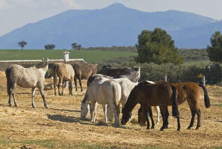 Andalousische paarden grazen   Stockfoto