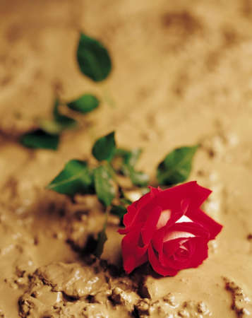 rosoideae: A red rose laying in mud