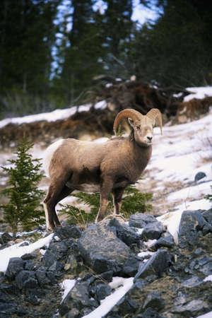 Bighorn sheep standing on rocks photo