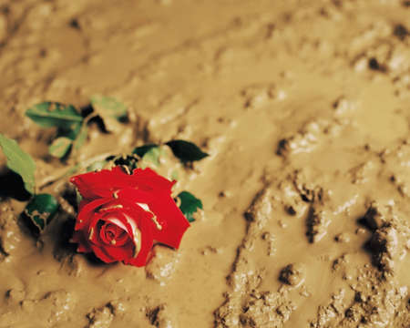 A rose discarded in mud