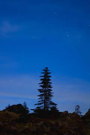 tallness: Lone pine tree silhouette with starry sky