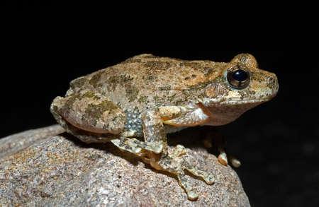wildanimal: A Canyon Treefrog on a rock