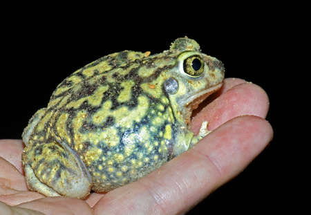 bodypart: A spadefoot toad being held
