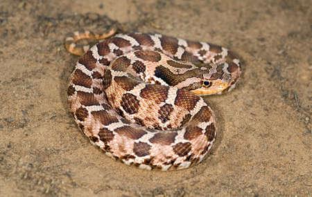 wildanimal: An eastern hognose snake Stock Photo