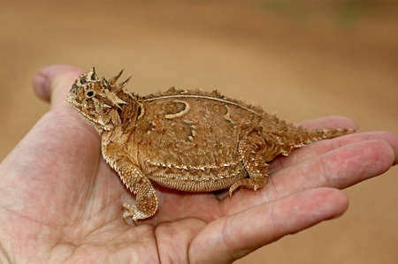 holding close: A Texas horned lizard, Phrynosoma cornutum, in the palm of a hand