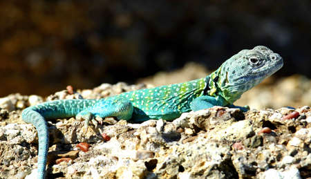 wildanimal: An Eastern collared lizard, Crotaphytus collaris, basking in the sun