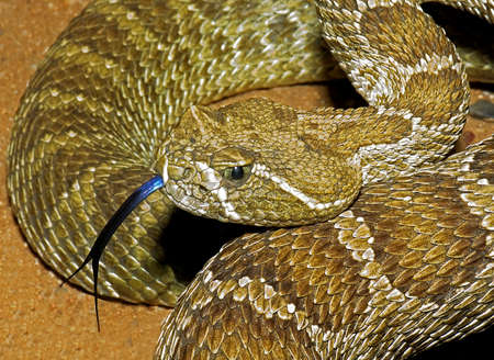 A prairie rattlesnake, Crotalus viridis, flicking its tongue
