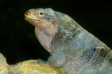 wildanimal: A Virgin Islands rock iguana basking on a rock