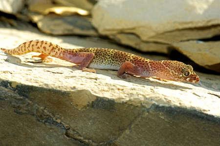 wildanimal: An alert and active Texas banded gecko   Stock Photo