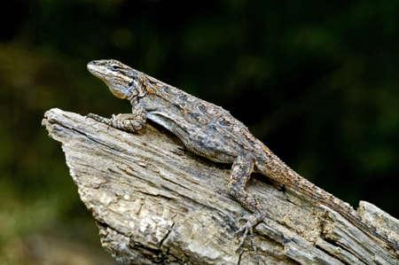 wildanimal: An Eastern tree lizard on a log