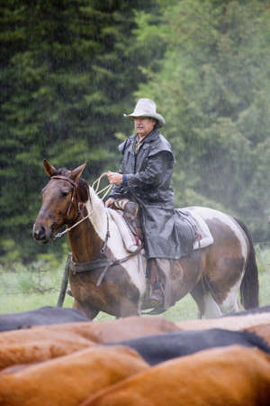 Cowboy herding cattle in the rain   Stock Photo - 7210196