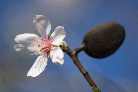 almond bud: Closeup of an almond flower