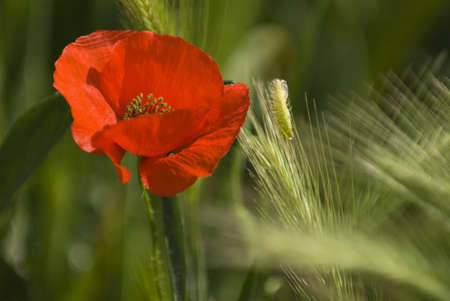 A red poppy blooming outdoors Stock Photo - 7200269