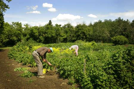60 something: Senior man gardening