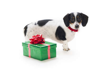 cutouts: Dachshund puppy with present Stock Photo