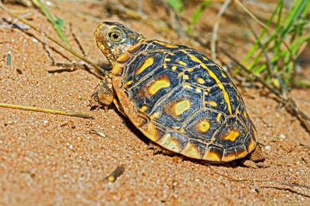wildanimal: Juvenile ornate box turtle basking in a canyon, Garza County, Texas, U.S.A Stock Photo