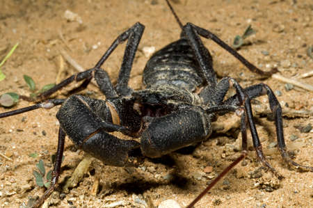 A vinegaroon crawling on the ground