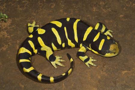 Texas barred tiger salamander Stock Photo