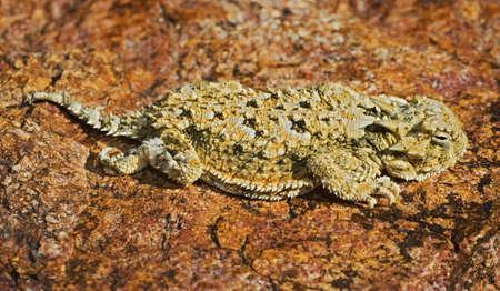wildanimal: A juvenile southern desert horned lizard
