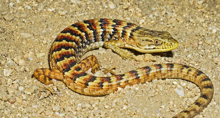wildanimal: A southern alligator lizard Stock Photo