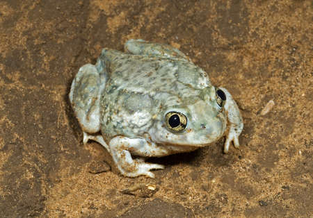 wildanimal: A plains spadefoot toad sitting on the road