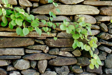 Stone wall and vine Stock Photo